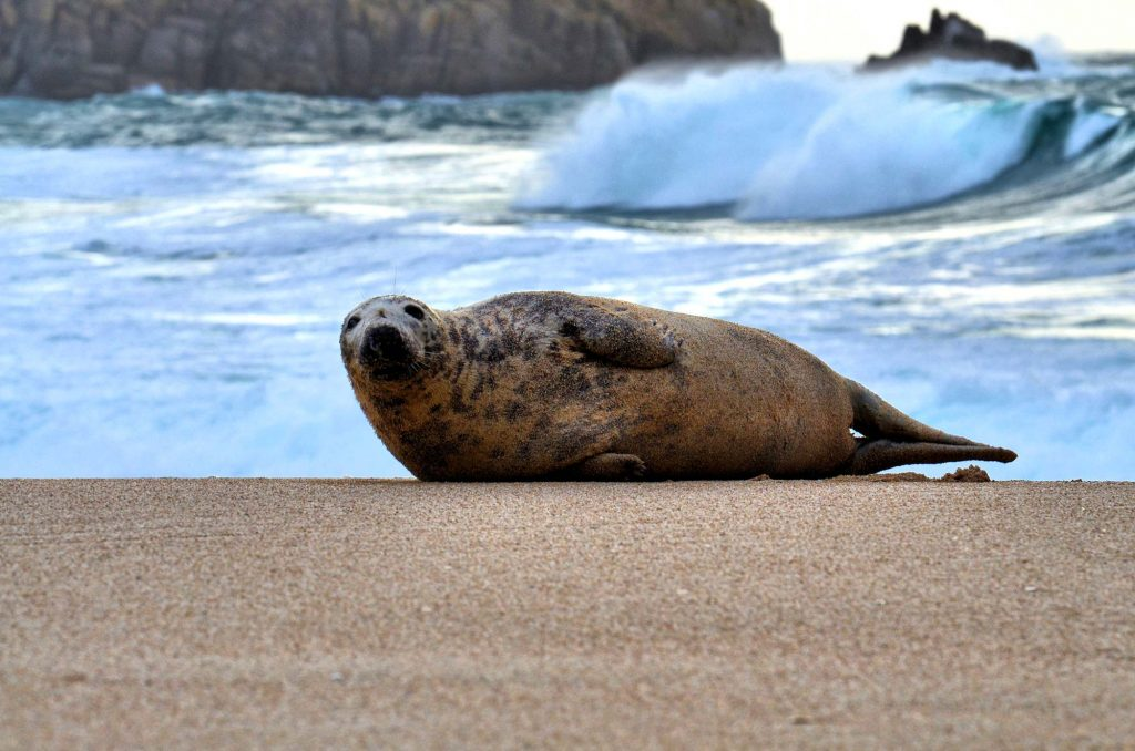 Look Out For Porthcurno's Friendly Neighbourhood Seal!